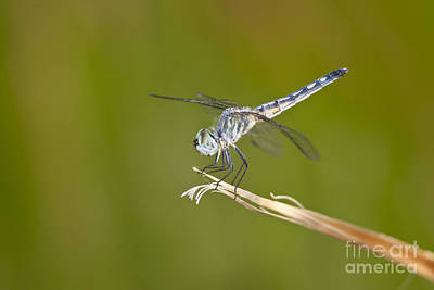 Art Print featuring the photograph Blue Dasher On The Edge by Bryan Keil