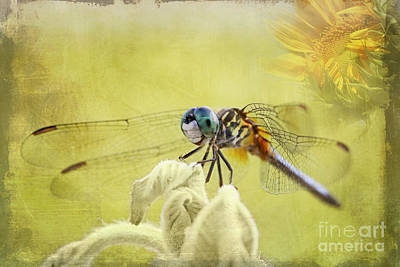 Photograph - Blue Dasher by Pamela Gail Torres