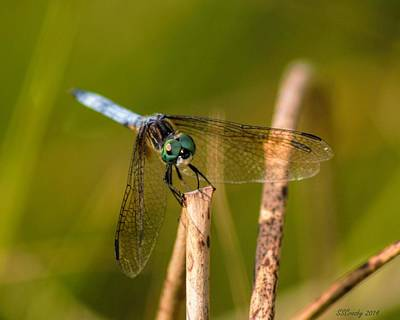 Photograph - Blue Dasher by Susan Stevens Crosby
