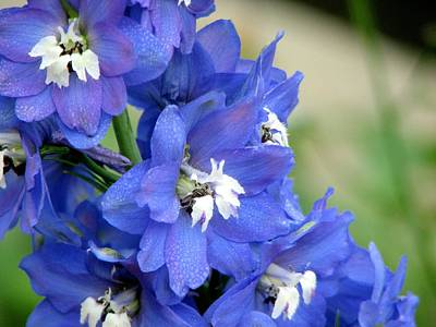 Blue Delphinium Flower Art Print by Bonita Hensley