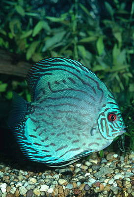 Photograph - Blue Discus Fish by Millard H. Sharp