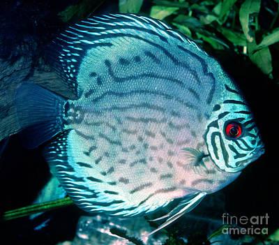 Fresh Water Fish Photograph - Blue Discus by Millard H. Sharp