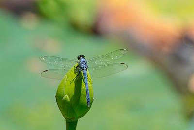 Photograph - Blue Dragon by Shannon Harrington