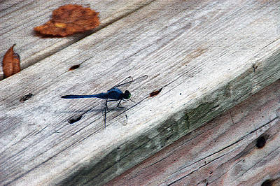 Photograph - Blue Dragonfly by Aimee L Maher ALM GALLERY
