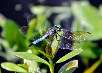 Photograph - Blue Dragonfly Blue Dasher by Jeanne Kay Juhos