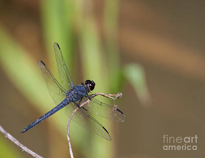 Blue Dragonfly Art Print by Dale Nelson