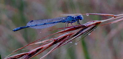 Photograph - Blue Dragonfly by Denise   Hoff