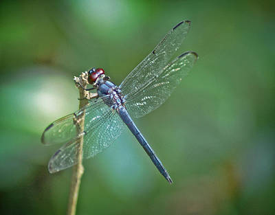 Art Print featuring the photograph Blue Dragonfly by Linda Brown