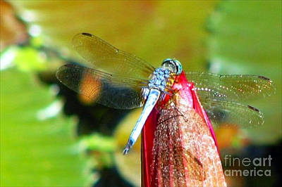 Photograph - Blue Dragonfly Macro by Anita Lewis