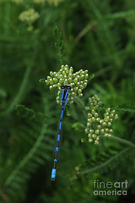 Photograph - Blue Dragonfly by Marjorie Imbeau