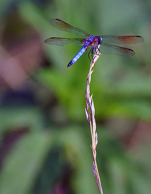 Blue Dragonfly On A Blade Of Grass  Art Print by Chris Flees