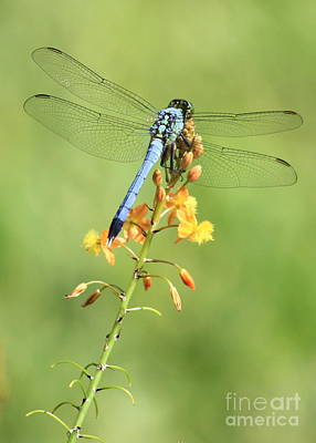 Anticipation Photograph - Blue Dragonfly On Yellow Flower by Carol Groenen