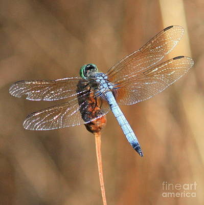 Blue And Brown Photograph - Blue Dragonfly Square by Carol Groenen