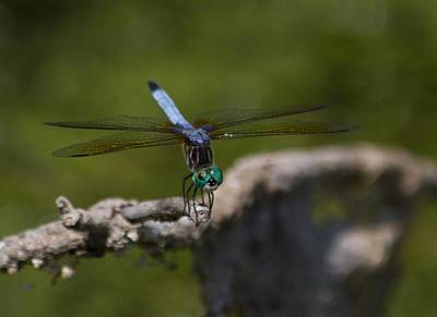Sports Royalty-Free and Rights-Managed Images - Blue Dragonfly with green head by David Tennis