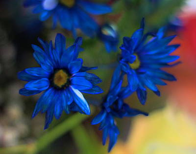 Whimsical Photograph - Blue Dyed Daisies  by Cathy Lindsey