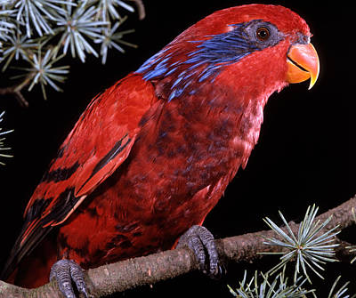 Indonesian Wildlife Photograph - Blue-eared Lory by Jean-Michel Labat