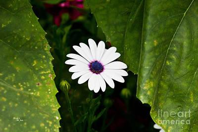 Asti Photograph - Blue Eye Daisy by Ms Judi