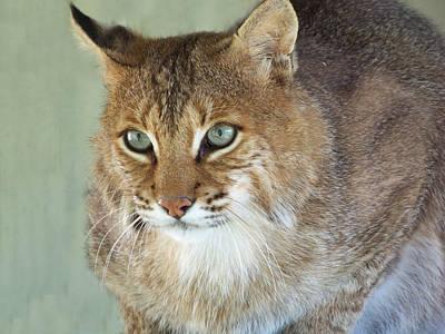 Blue Eyed Bobcat Print by Jennifer  King