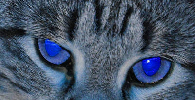 Photograph - Blue Eyed Cat by Daniel Ness
