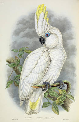 Cockatoo Drawing - Blue-eyed Cockatoo by William Hart