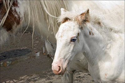 Photograph - Blue Eyed Foal by Liz  Alderdice