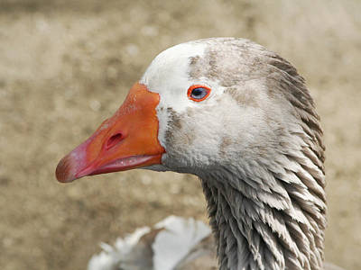 Blue-eyed Goose Art Print by Bob and Jan Shriner