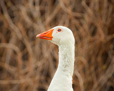 Photograph - Blue Eyed Goose by Joan Herwig