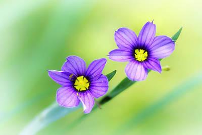 Deer Resistant Flowers Photograph - Blue-eyed Grass by Carolyn Derstine
