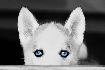 Digital Art - Blue Eyed Huskie by Susan Stone