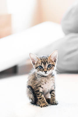 Kittens Photograph - Blue Eyed Kitten by Shelby  Young