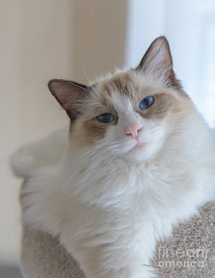 Photograph - Blue-eyed Ragdoll Kitten by Peta Thames