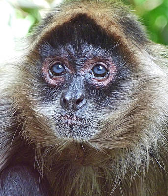 Photograph - Blue Eyed Spider Monkey by Margaret Saheed