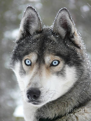 Blue Eyes Husky Dog Art Print