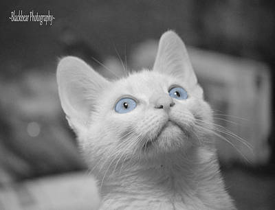 Flame Point Siamese Photograph - Blue Eyes by Sherry Breece