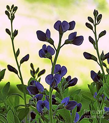 Photograph - Blue False Indigo by Janice Drew