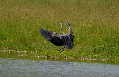 Photograph - Blue Feathered Heron by Maria Urso