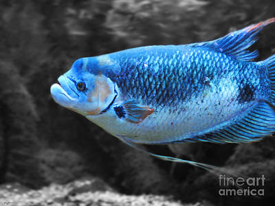 Photograph - Blue Fish by Jai Johnson
