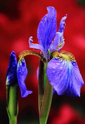 Photograph - Blue Flag Iris With Red Backdrop by John Burk