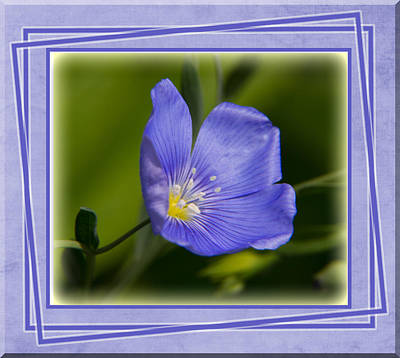 Photograph - Blue Flax Close-up With Frame by Patti Deters