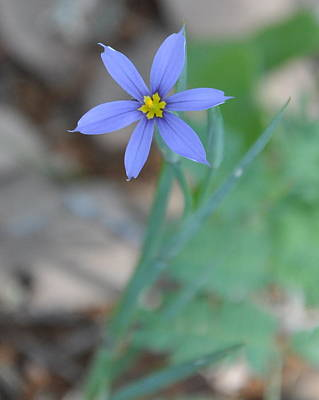 Photograph - Blue Flower by Frank Madia