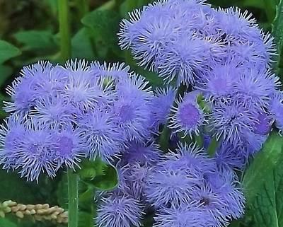 Photograph - blue Flower by John Wartman