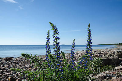 Photograph - Blue Flowers At A Calm Bay By A Stony Coastline by Kennerth and Birgitta Kullman