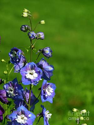 Pineland Farms Photograph - Blue Flowers by Christine Stack