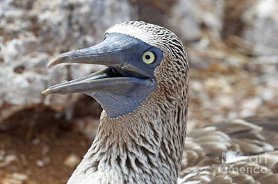 Outerspace Patenets - Blue Footed Boobie Galapagos by Jason O Watson