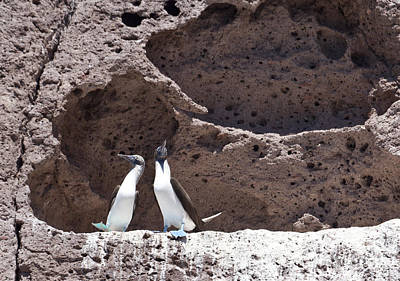 Photograph - Blue Footed Boobies Displaying by Liz Leyden