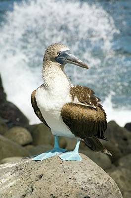 Boobies Photograph - Blue-footed Booby by Daniel Sambraus