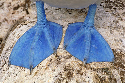 Photograph - Blue-footed Booby Feet  by Frans Lanting MINT Images