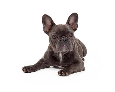 Cute French Bulldog Photograph - Blue French Bulldog Laying by Susan Schmitz