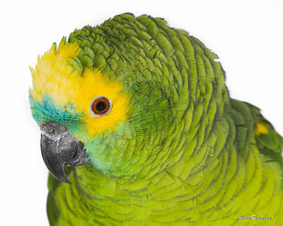 Photograph - Blue-front Amazon On White by Avian Resources