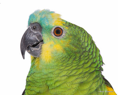 Photograph - Blue-front Amazon Portrait On White 2 by Avian Resources